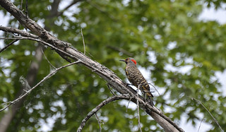 yellow shafted northern flicker petrie island 27062015_DSC6335 | by David Villeneuve