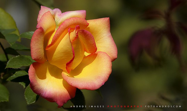 La Rosa // The Rose // Flower