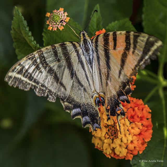 Iphiclides podalirius - Podalirio