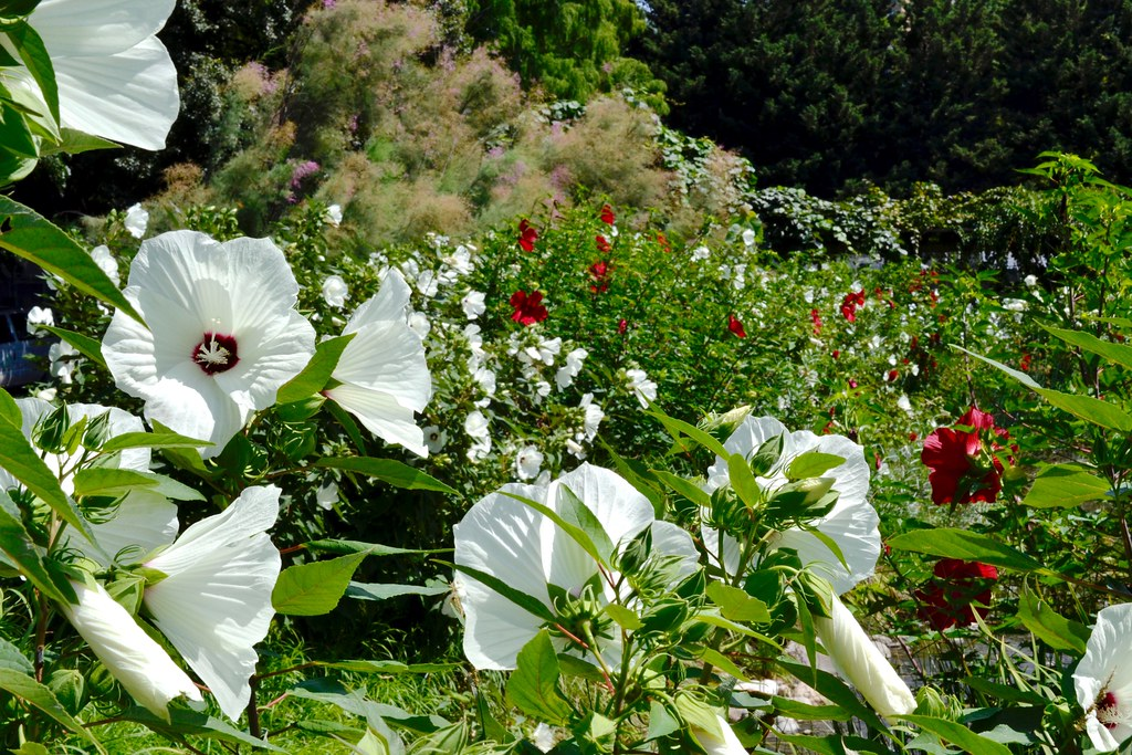 Heavenly Hibiscus Long Lived Easy Care Beauties Brooklyn Botanic