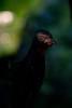 Band-tailed Guan (Penelope argyrotis) by Simon Valdez-Juarez