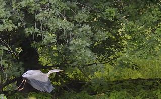 Blue Heron petrie island 01082015_DSC0396 | by David Villeneuve