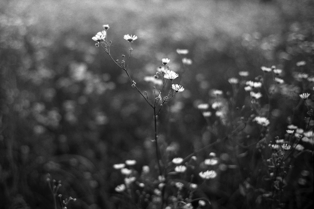 Białe kwiaty / White flowers