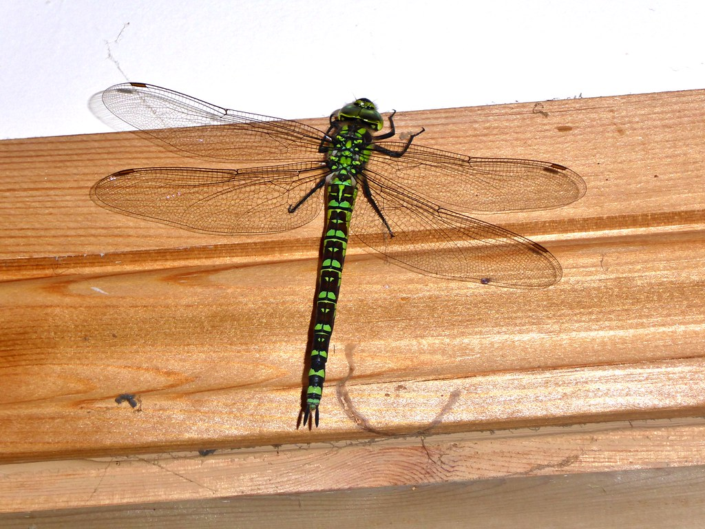 Redhill Kitchen Aug 2016 Dragonfly Joins Me For Breakf Flickr