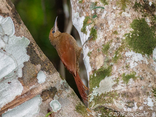 Northern Barred Woodcreeper | by Jim Scarff