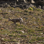 Solo male Bighorn Sheep