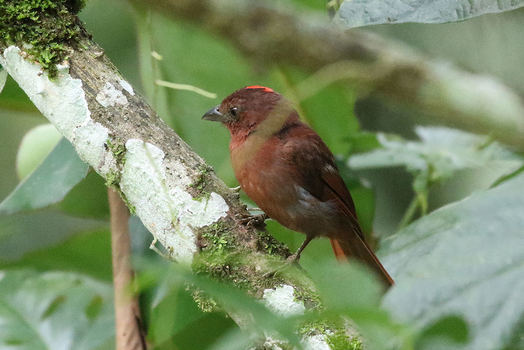 Red-crowned Ant-Tanager - Habia rubica - Coclé, Panama - June 17, 2017