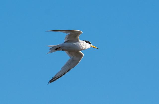 Chilreta | Sternula albifrons | Little Tern