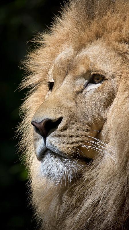 ios-9-Lion-Wild-Africa-Wallpaper