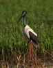 Black-necked Stork or Jabiru (Ephippiorhynchus asiaticus) Darwin, Northern Territory, Australia 2016 by Ricardo Bitran
