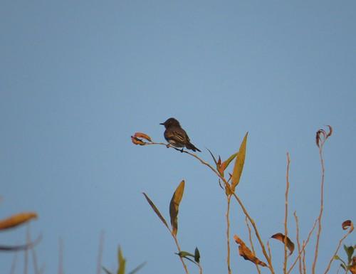 kevinlucas yakimacounty yakimararebird yakimacountyrarebird blackphoebe sayornisnigricans lateralc toppenishcreek birdingethics ericheisey pointandshoot