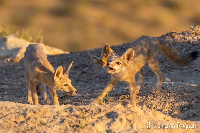 Kit Fox Pups