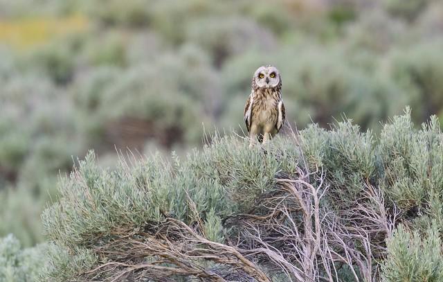 Short-eared Owl 2305a