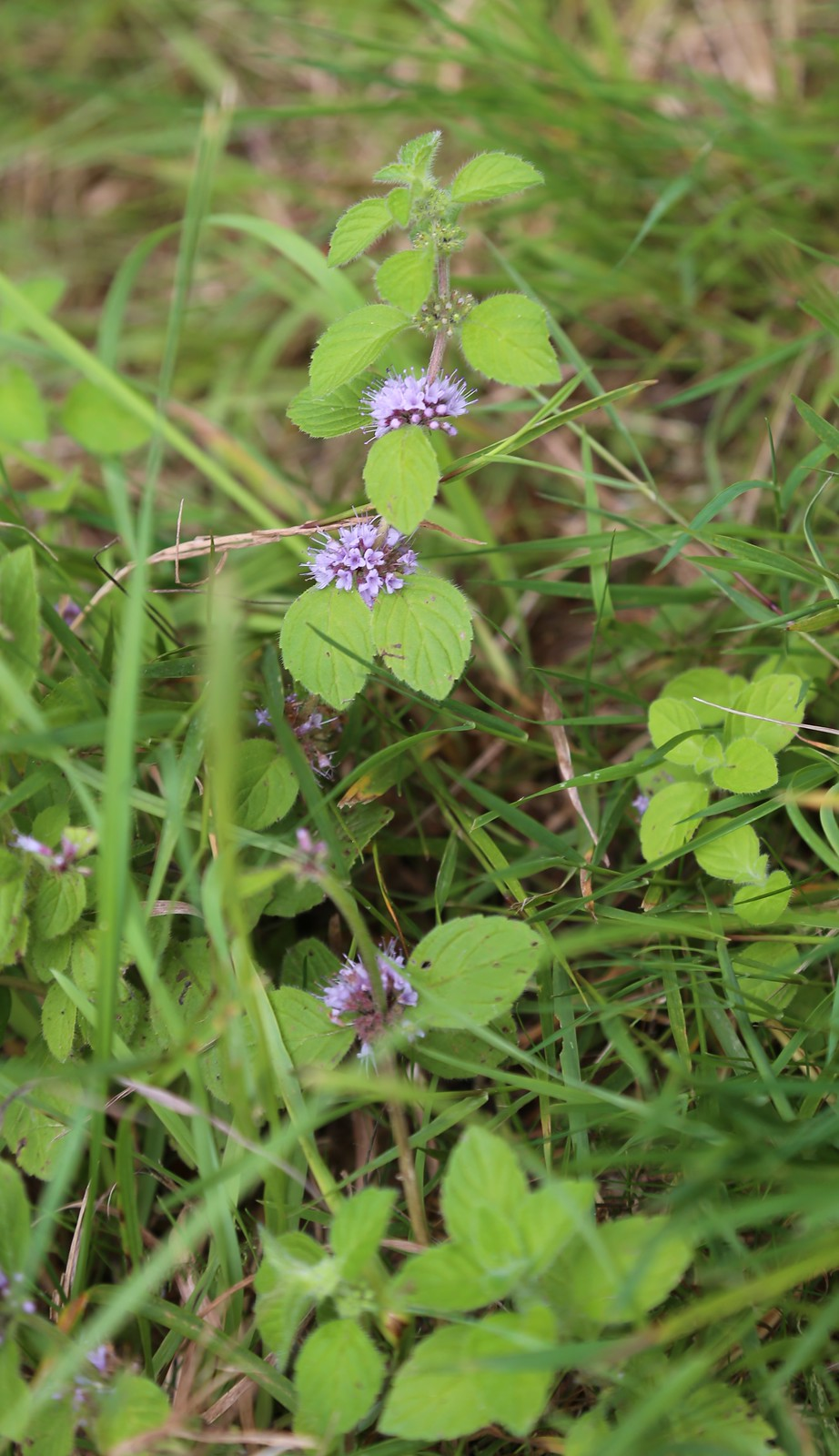 Corn Mint - Pulborought to Petworth