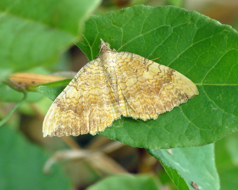 70.059 Yellow Shell - Camptogramma bilineata