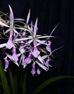 Encyclia adenocaulae species orchid | by nolehace