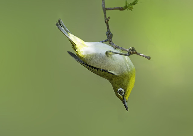 Japanese White eye with green background.