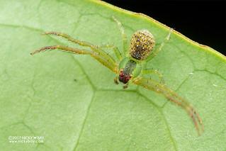 Crab spider (Spilosynema sp.) - DSC_9760
