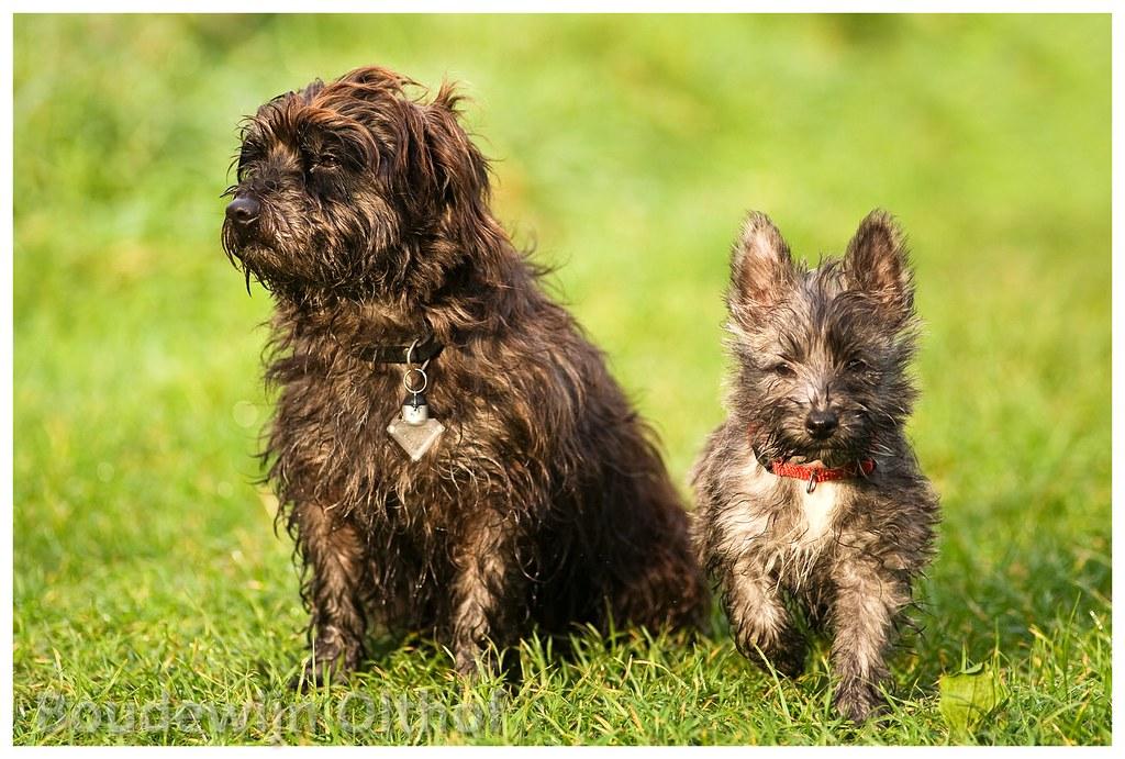 Cairn terriers crossbreeds