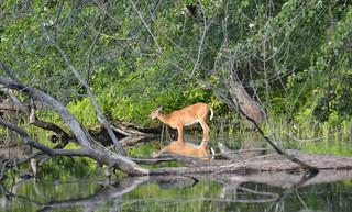 deer petrie island 25062015_DSC6159   by David Villeneuve