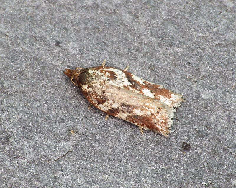 49.082 Acleris hyemana