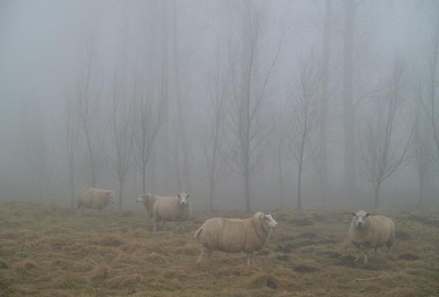 Schapen in mist - Sheeps in fog