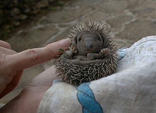 baby hedhehog 3 | by Monica Arellano-Ongpin
