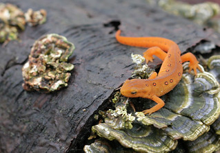 Red Eft   This little guy is a red eft