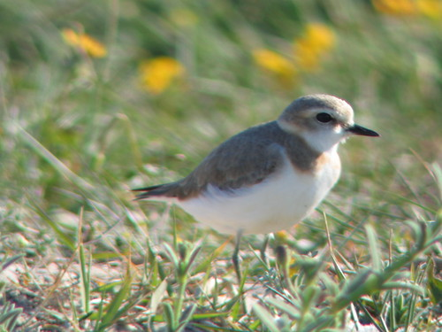 Kentish Plover | by Harry R