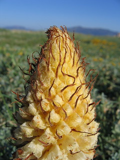 Broomrape | by Harry R