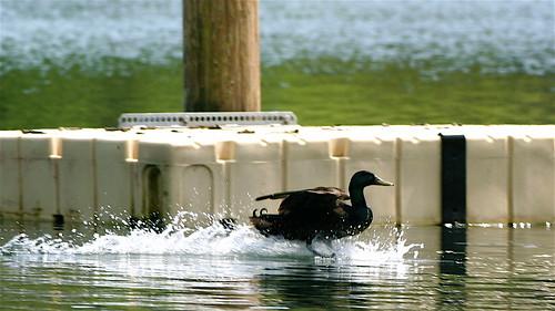 Duck wake by jodi_tripp