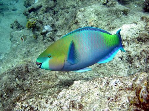 Pesce pappagallo (Scarus sordidus)   by Key of Life