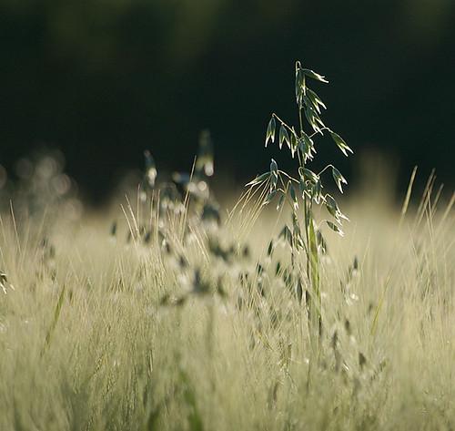 food farm havre oats novideo