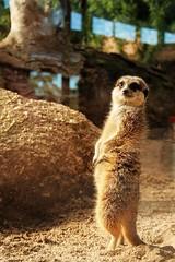 Meerkat, Werribee Zoo, Melbourne, Oz