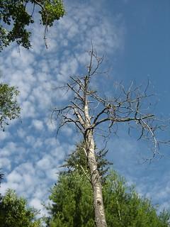 dead tree.JPG   by ijay