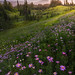 Aster Twilight Heaven On Mt Rainier