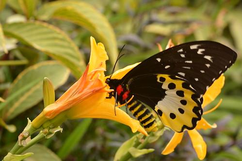 Chimaera Birdwing (Ornithoptera chimaera)