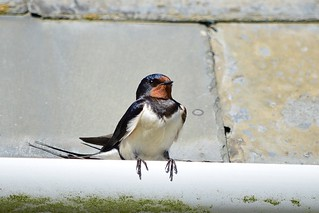 Swallow at Cadle Mill Farm (Brian Meredith May 17) | by Penllergare