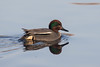 Common Teal (Anas crecca) Wintertalingmale by Ron Winkler nature