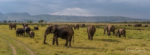masaimara africa lion liones cub greatmigration wildebeest sunset sunrise silhouette crocodile hunt kill river mara sony nikon d500 a7r2