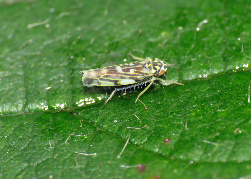 Eupteryx urticae