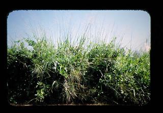 東アフリカからの団地型牧草の導入
