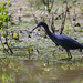 Little Blue Heron by clayguthrie13