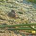 Flickr photo 'Baird's Sandpiper (Calidris bairdii)' by: Mary Keim.