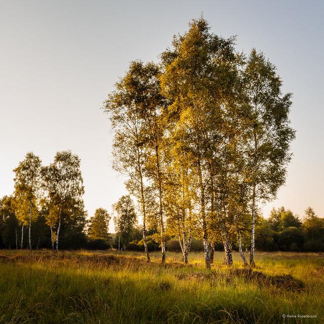 Birch trees in golden light