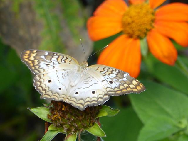 White Peacock - Anartia jatrophae - Harry P Leu Gardens 13Aug17