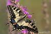 Borboleta-cauda-de-andorinha (Papilio machaon) by Milas Santos