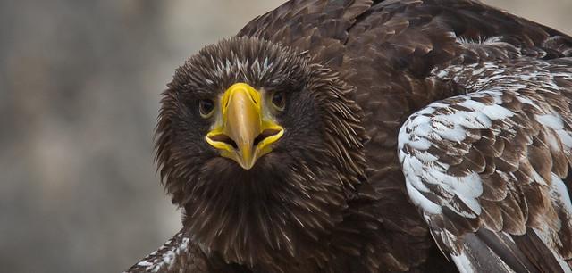 Juvenile Steller's sea eagle