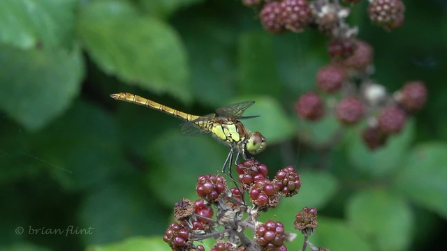 Common darter dragonfly and Brown Argus butterfly