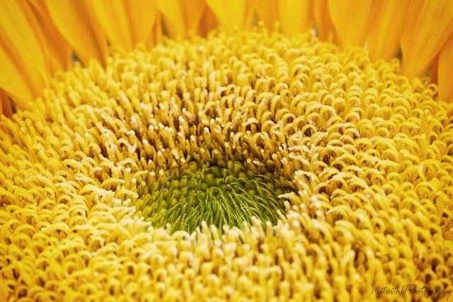 Sunflower IMG_6794-1